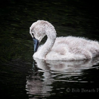 C is for cygnet