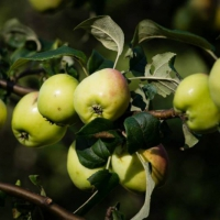 A is for Apple Tree