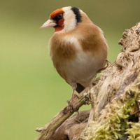 G for goldfinch