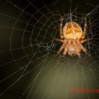 O is for Orb Weaver Spider