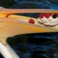 P for Pelican eating Pavlova