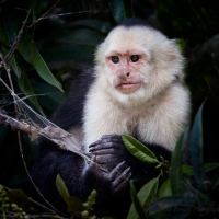 Capuchin monkey feeding on spider's web