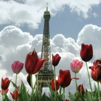 Tulips and the Eiffel Tower