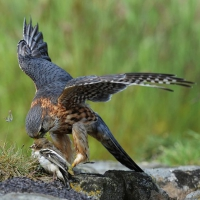 Peter-Jepson-MERLIN-WITH-CHAFFINCH