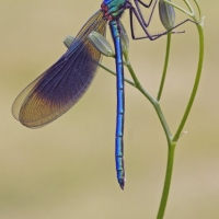 "Winning Print: ""Male Banded Demoiselle"" by Peter Preece"