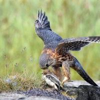 MERLIN WITH PREY Peter Jepson