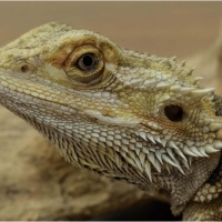 Taken by Dick Steele Detail of Crested Lizard