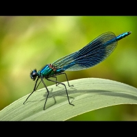 1 Banded Demoiselle by Bob Breach