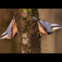 Peter Preece - Male and female Nuthatch pairing in Great Aln wood - Scored 19