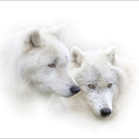 Bob Breach - Arctic wolf pair