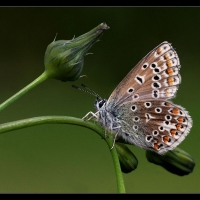 1 Common Blue on Smooth Sow-thistle - Margaret Preece 54