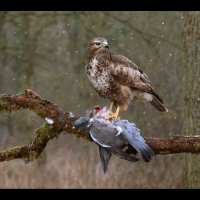 3 Female Buzzard feeding in on wood pigeon in the snow - Peter Preece 52