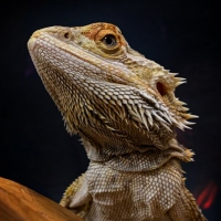 Phil-Moorhousebearded-dragon