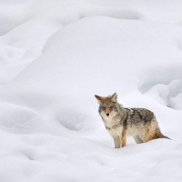 Bob-Breach-Coyote-hunting-in-snow