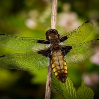Broad-bodied-Chaser-Steve-Crampton