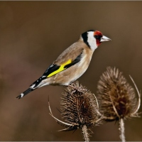Goldfinch-on-Teasle