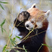 R-for-Red-Panda