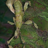 Stick-insect.-G.Newman