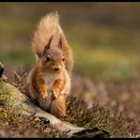 2nd-Dave-Venables-Red-Squirrel