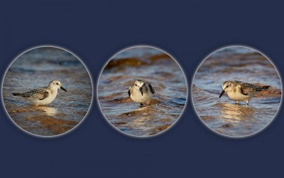 Bob-Breach-A-trio-of-Sanderlings