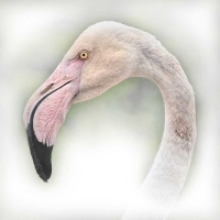 Flamingo-Portrait-by-Jo-Monro
