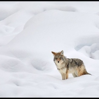 Coyote-hunting-in-snow