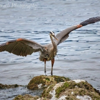 H is for Heron