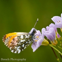 O is for ...Orange Tip Butterfly