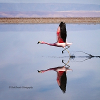 Andean flamingo taking off from salt flats