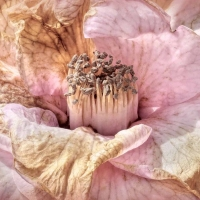 Decaying-Camelia-flower-on-the-lawn.-By-Jo-Monro