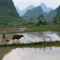 Ploughing the Paddy Fields