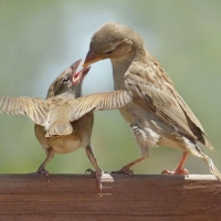 Sparrow with Chick